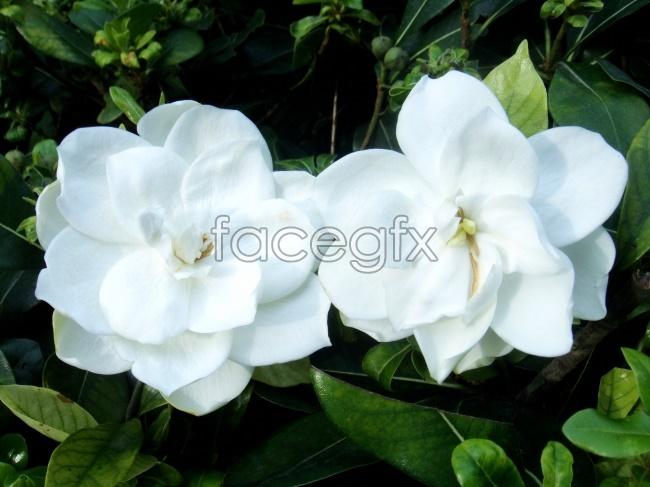 Gardenia picture