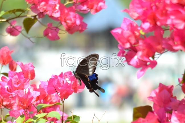 Spring plum Butterfly high definition pictures