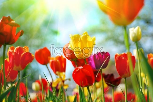 Tulips desktop wallpaper
