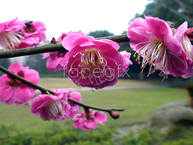HD pink plum blossom pictures