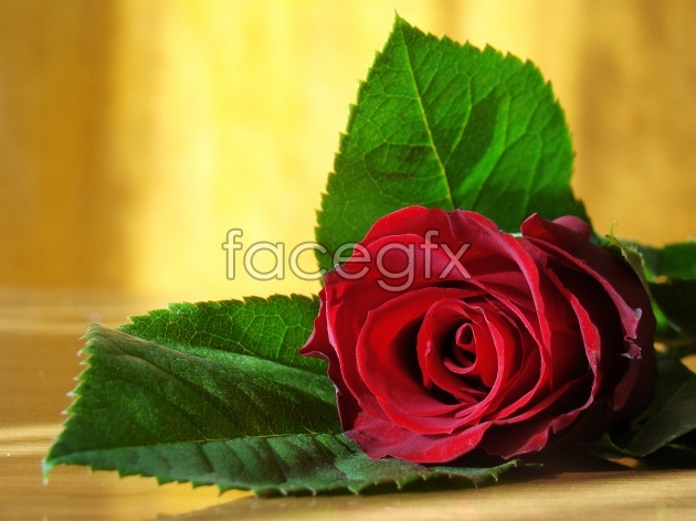 HD rose pictures