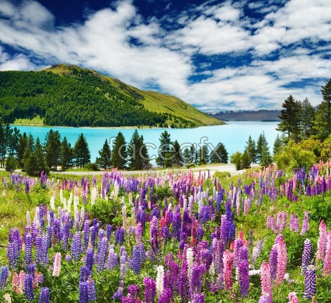 Purple lavender pictures