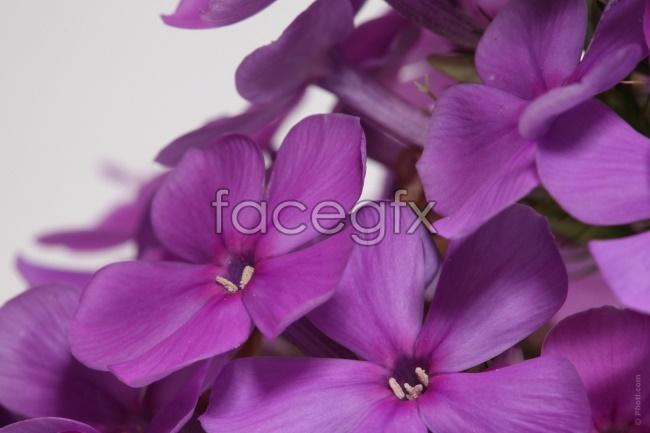 Purple lilac HD picture