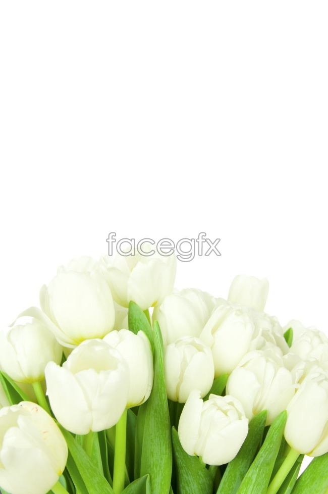 Tulips on a white background HD picture material