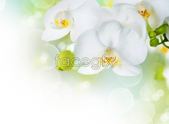White Orchid pictures