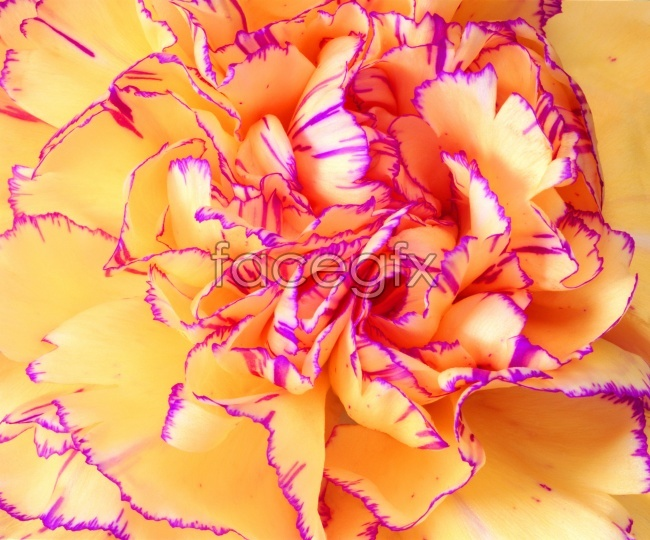 HD Carnation flower pictures