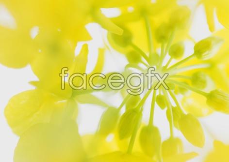 Rape flowers close-up
