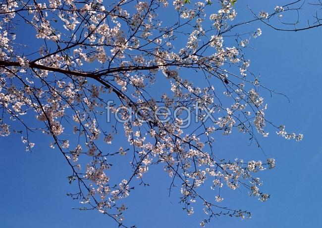 Thorn plum pictures