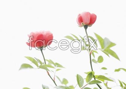 Flowers close-ups 2039