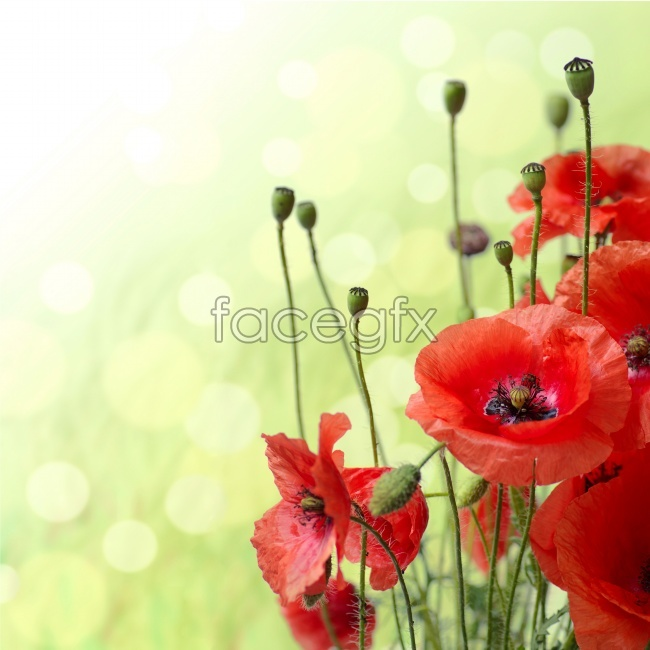 Red poppy flowers HD pictures