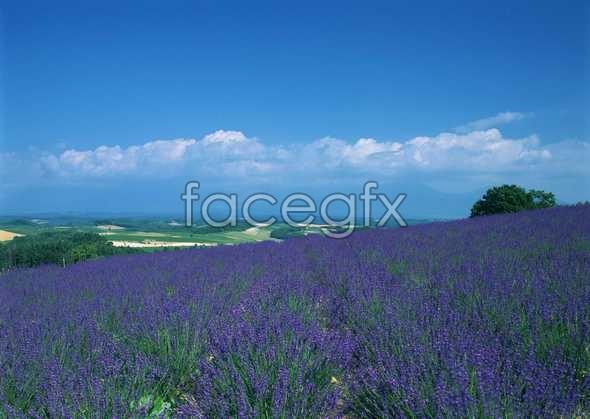Thousand flower 619