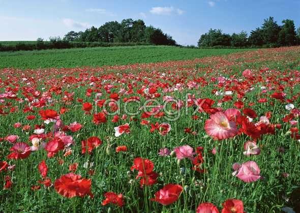 Thousand flower 81
