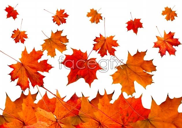 HD autumn Maple Leaf Chinese Restaurant image