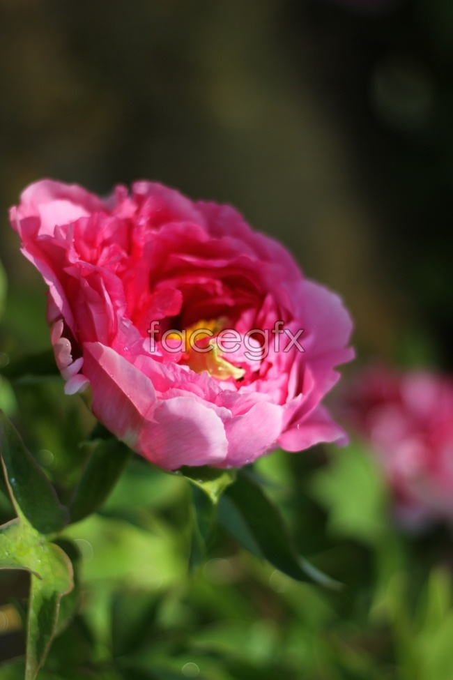 Luoyang Peony pictures