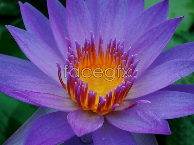 Purple water lily pictures