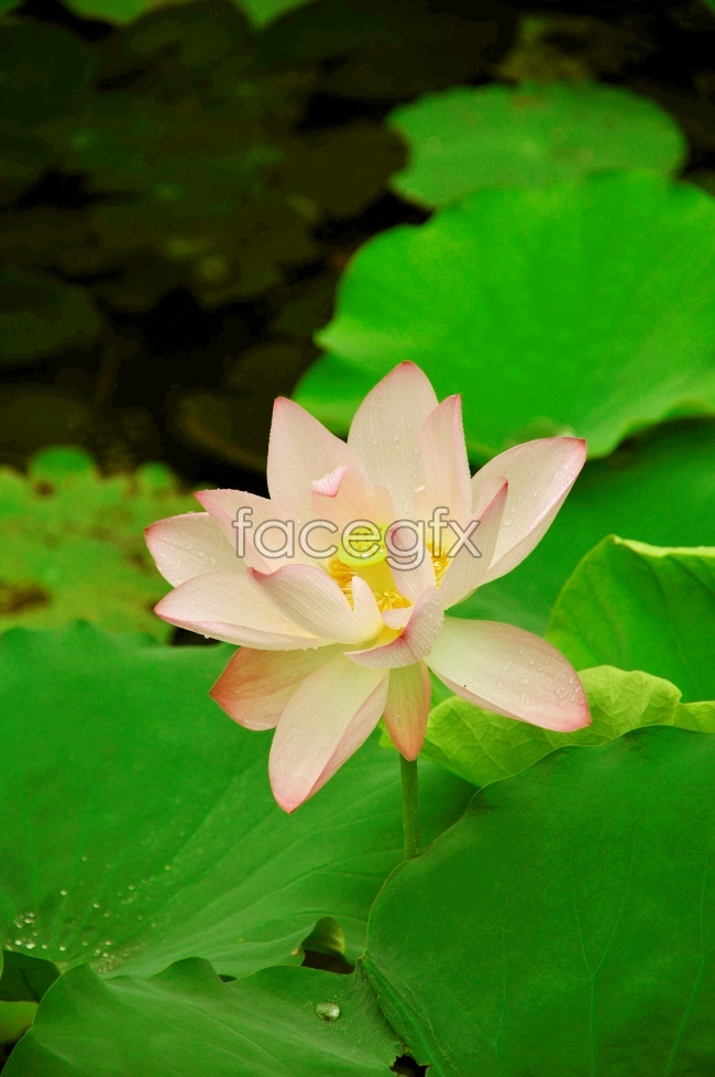 Blooming Lotus pictures