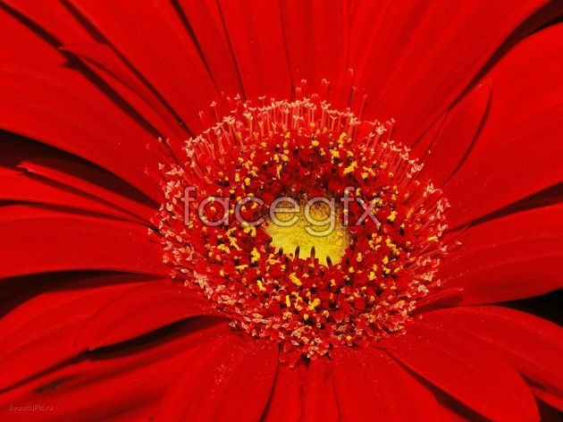 Red Chrysanthemum picture