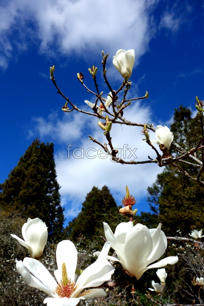White magnolia blossoms pictures
