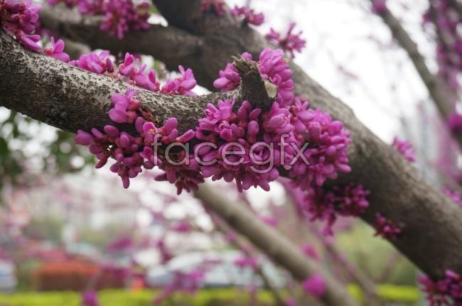 Bauhinia flower pictures
