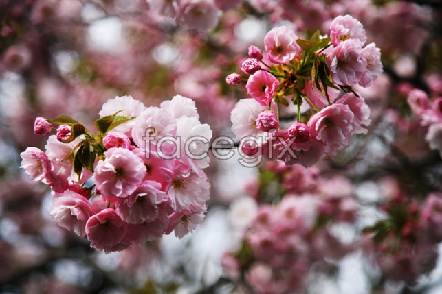 HD Japan cherry blossom pictures