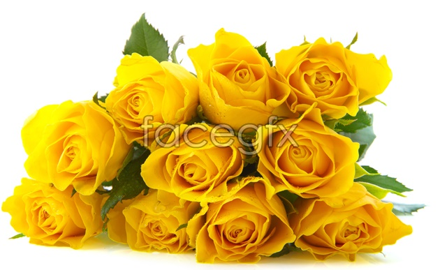 HD yellow roses pictures