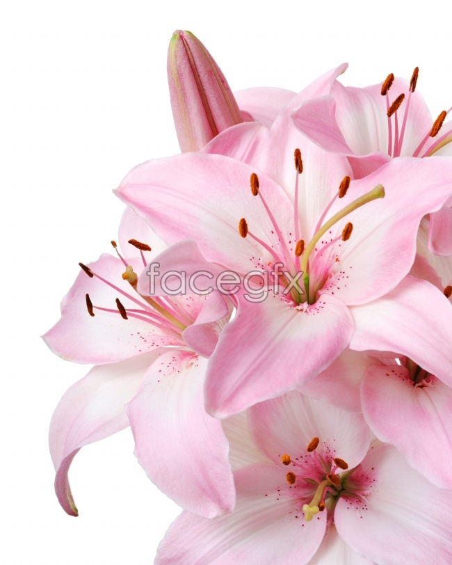 Pink lily flower picture
