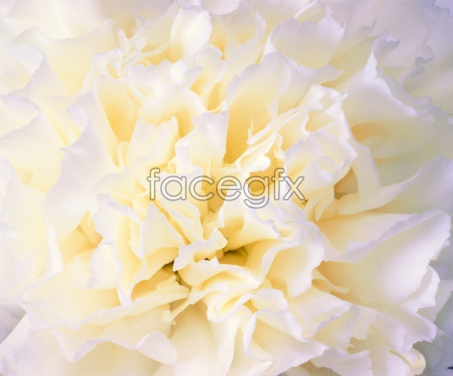 White Carnation picture