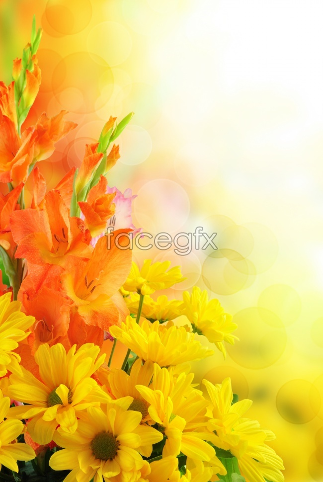 Yellow chrysanthemum a background picture