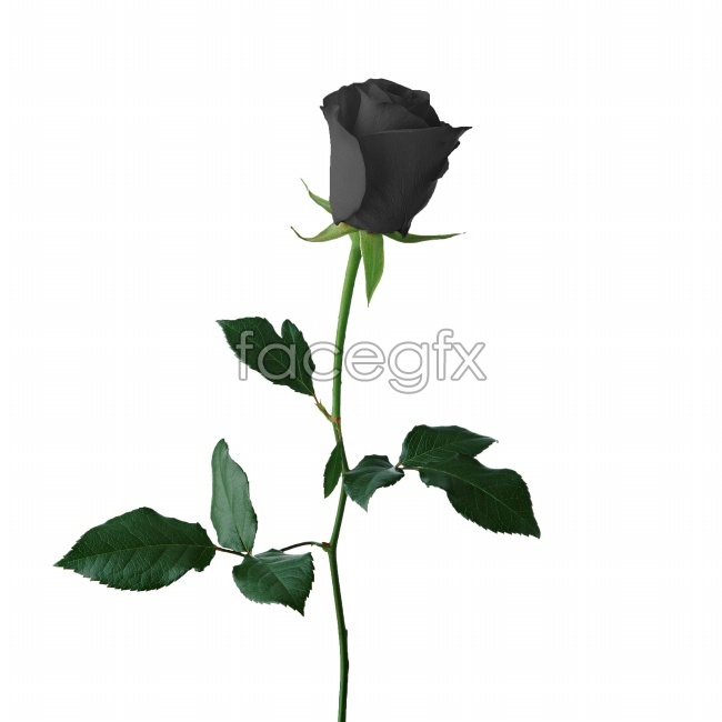 Black roses are beautiful pictures