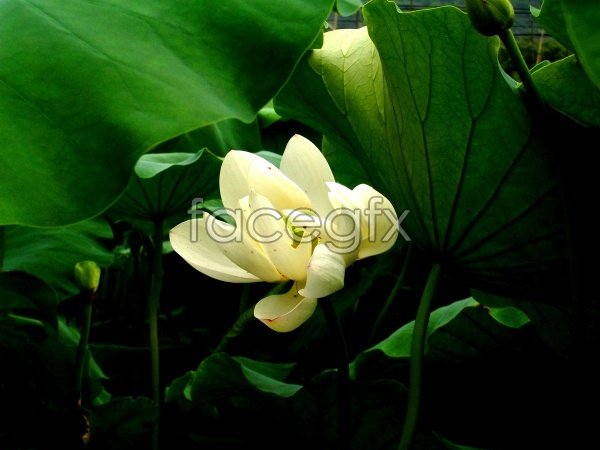 High definition material picture Lotus