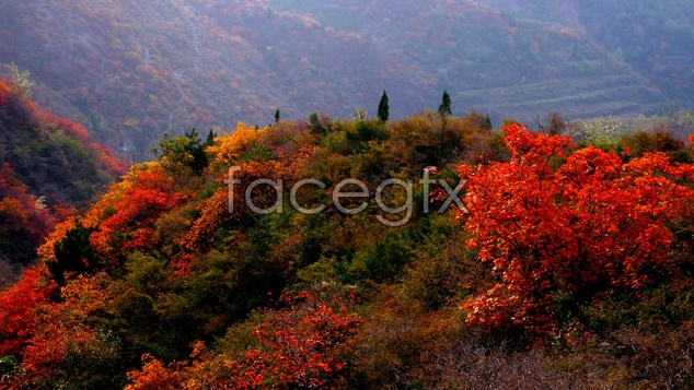 Maple Leaf Chinese Restaurant landscape material picture