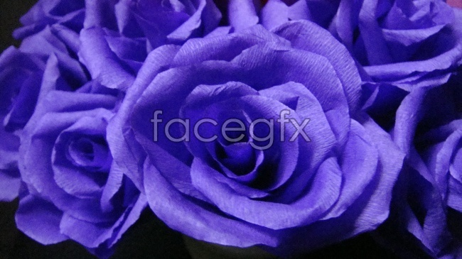 Purple roses pictures