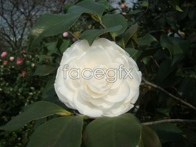 Yunnan white picture