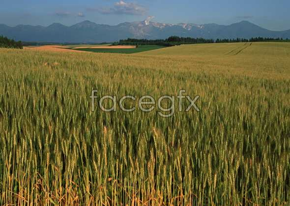 Golden Wheat picture