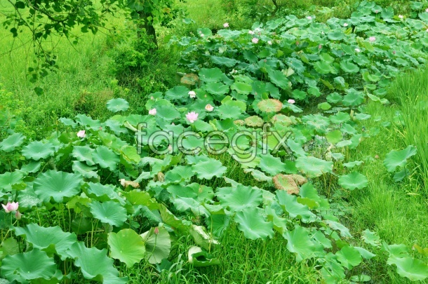 HD green Lotus pictures