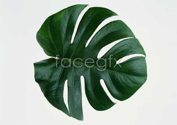 Large dentate leaves