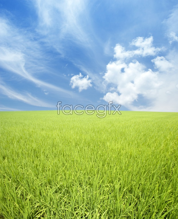 Paddy field landscape picture