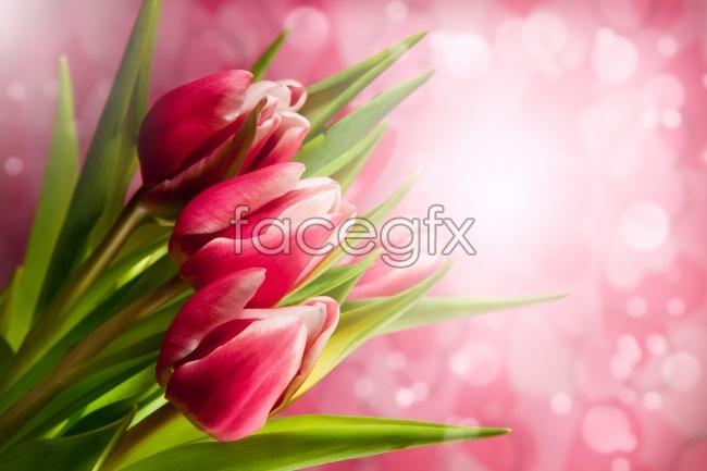 Sweet Tulip picture
