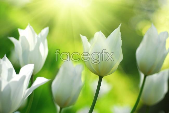 White tulips in the Sun photo materials