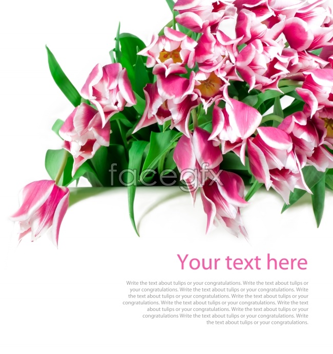 Pink lilies HD pictures