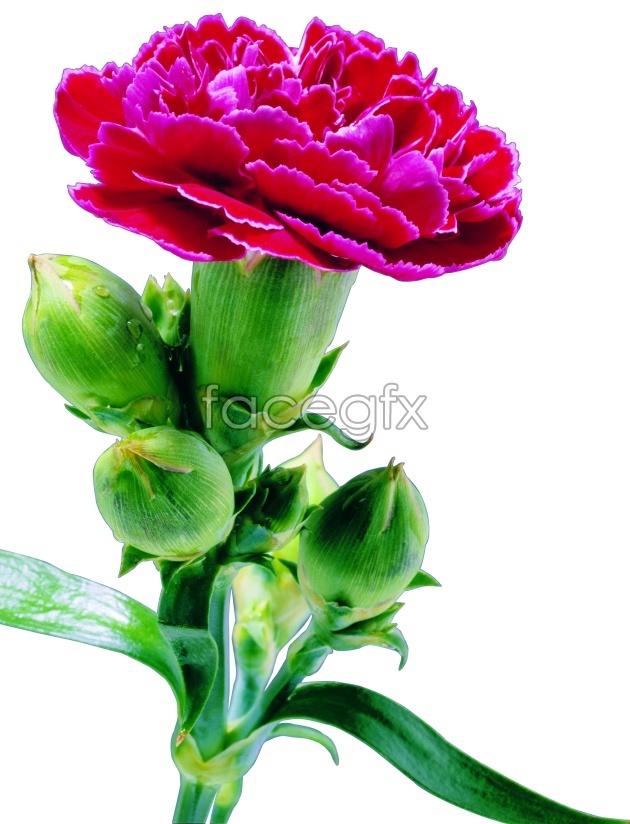 HD Carnation flowers
