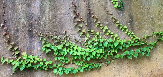 HD green leafy vines pictures