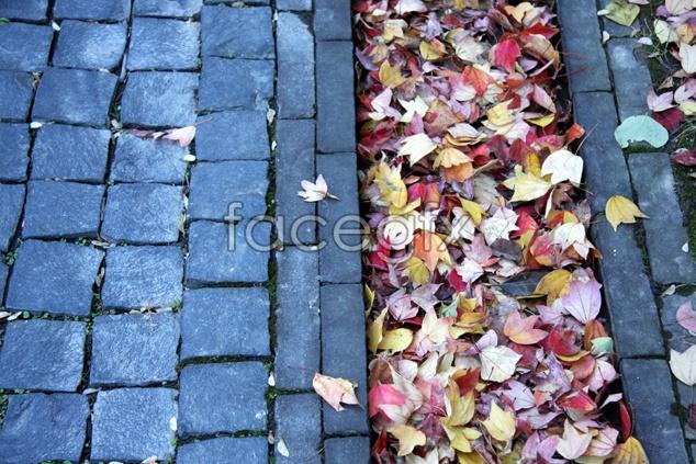 Maple Leaf pho