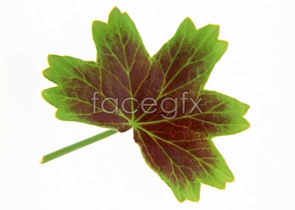 Red and green leaf picture