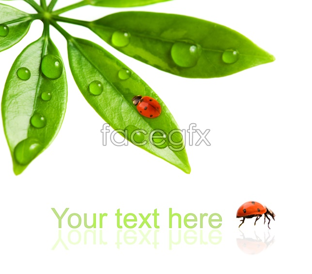 Green leaf and lady beetle pictures
