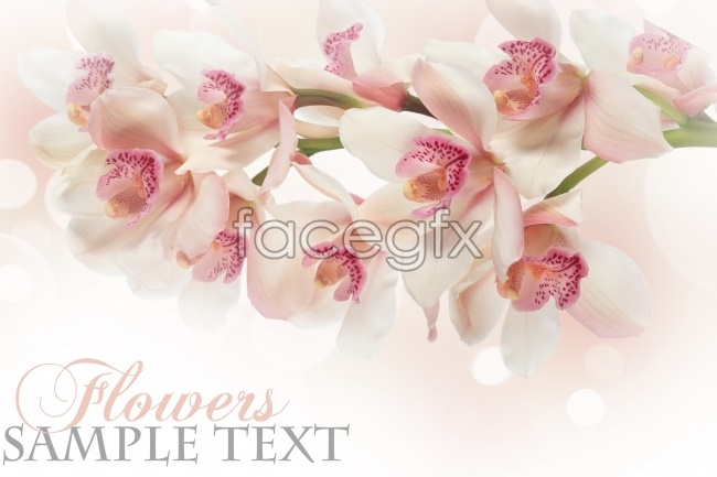 White Orchid high definition pictures