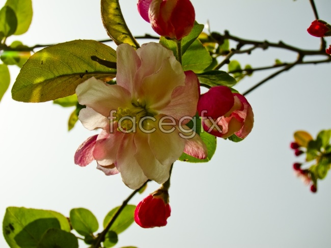 Begonia flowers pictures