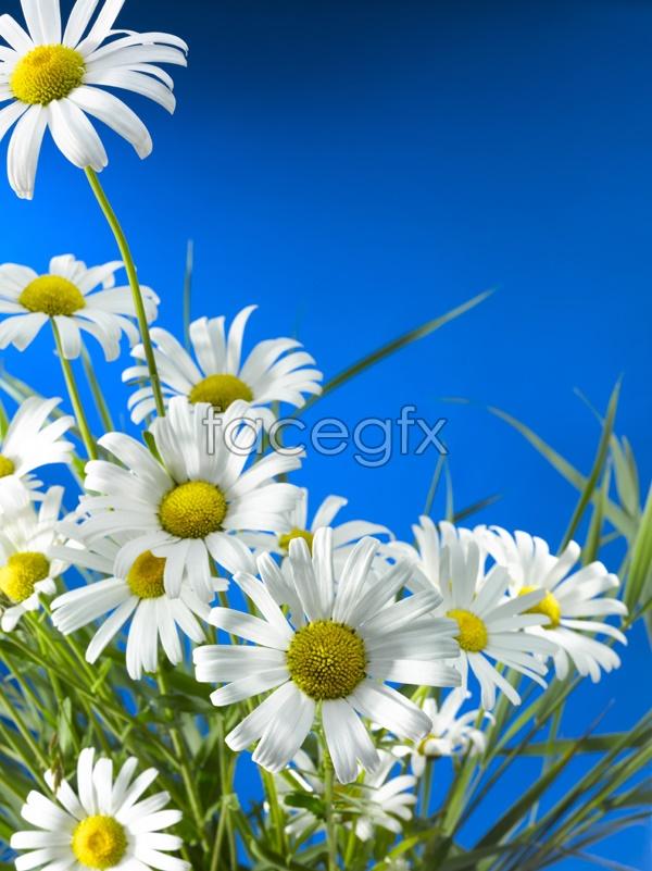 HD Daisy landscape picture