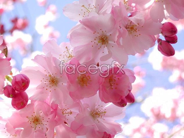 Peach Blossom bright picture