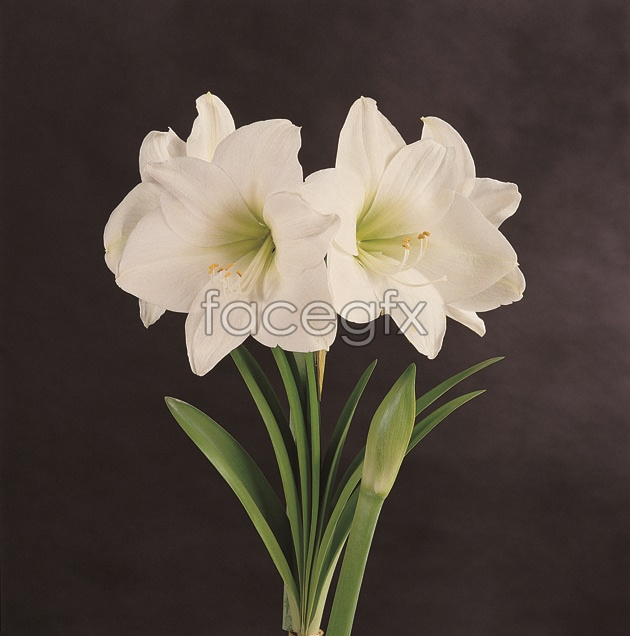 HD clivia pictures